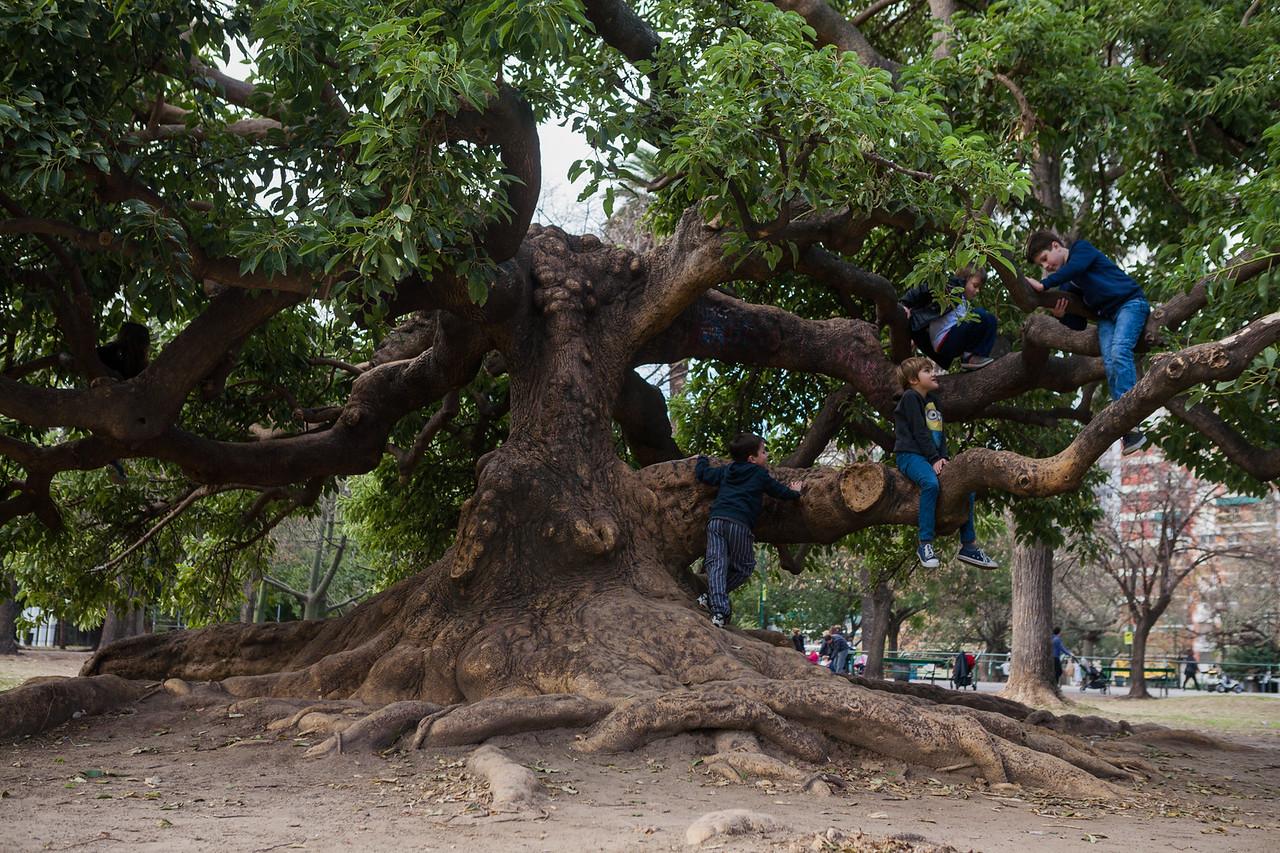 Ombu tree, Buenos Aires, Argentina