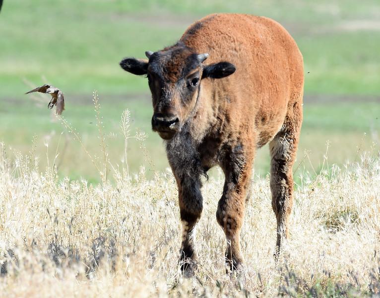 Longmont Buffalo