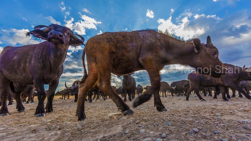 African Bufallos with calves grazing in Laikipia savanna