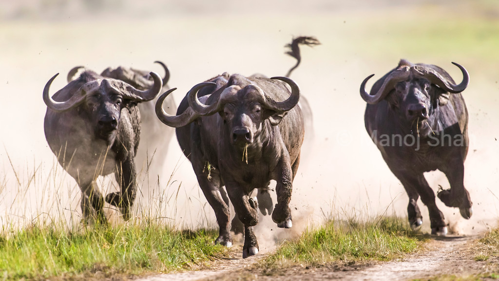 African Buffalos running after a male lion started walking towards them.