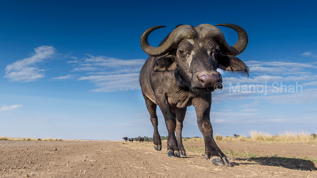African Cape Buffalo walking on the road