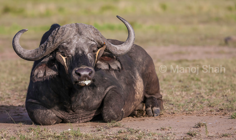 Blood sucking insects (xuch as ticks) are pluckedm from the African Buffalo's eyes and face by Red Billed Oxpeckers in Masai Mara.