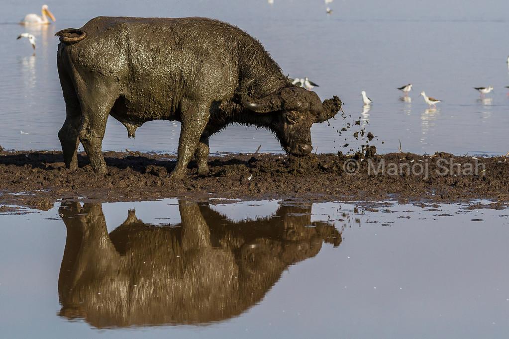 African Buffalo digging mud from Lake Nakuru.