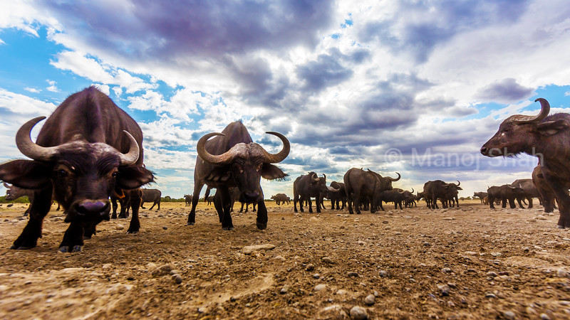 African buffa;os in a jovial mood in Laikipia savanna.