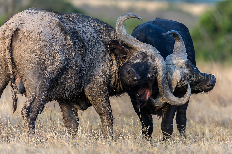 African buffalos in a sparring mood in laikipia savannah.