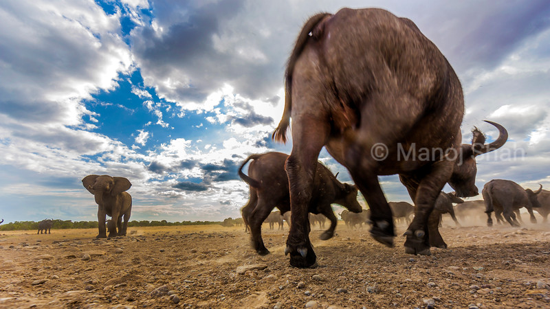 african buffalos  make way for the elephant to pass through in Laikipia savanna/