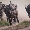 Cape Buffalos running