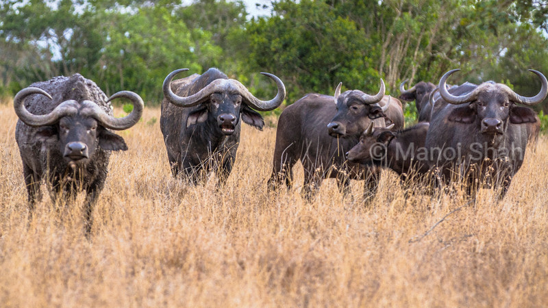 African Buffalo in Laiipia savanna, kenya