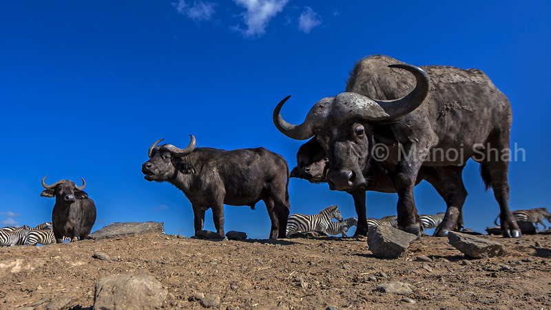 African Buffalos and Zebras on the move in Laikipia