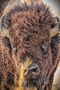 Frontal shot of a breeding age bull buffalo