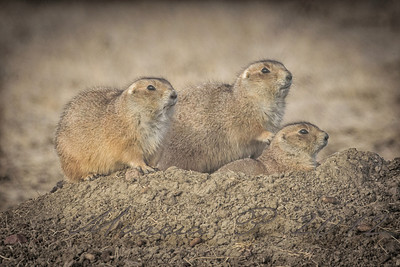 The buffalo's friends. Buffalo like prairie dogs as the create the dirt mounds that are just right for Tatanka to roll on for a dust bath. The Prairie dogs, on the other hand like the buffalo for keeping the grass trimmed and giving them a good view for predators.