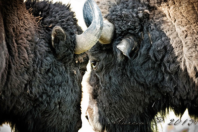 Eye to eye. A pair of bull buffalo seek to set the pecking order for the up and coming rut.