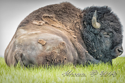 Resting on the prairie...