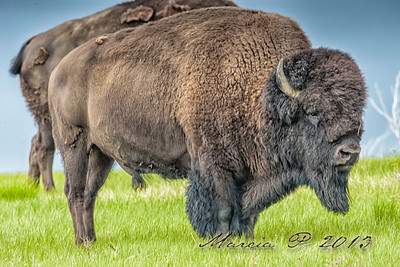 A dominant bull.