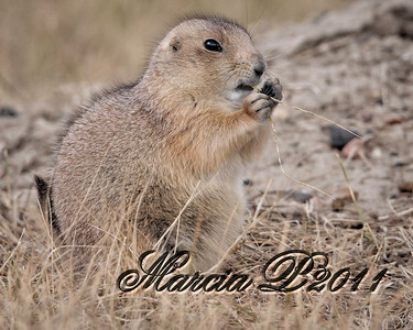 "A fat and saucy Black Tailed Prairie Dog (Cynomys ludovicianus) observes the buffalo at the edge of his ""town""."