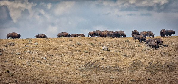 A True Prairie Skyline. I never tire of seeing buffalo where they belong and as they should be.