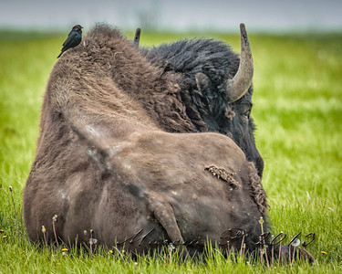 Friends. In olden times the cowbird (Molothrus ater) and the buffalo were together on the prairie.