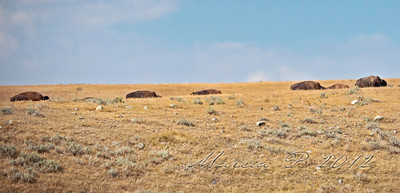 The prairie's a bit like the ocean and the buffalo look a bit whale-like with only their humps visible as they meander