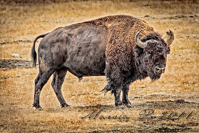 Battle casualty. This bull lost a good chunk of his scalp or bonnet very likely by getting it caught on something...