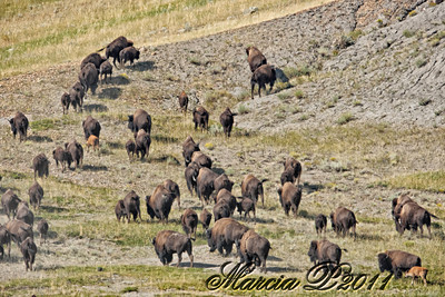Buffalo herd on the move. I had to hike five miles in 85 degree (29°C) weather off trail with a 35 pound pack to get to them. It was a magnifient and very profound experience to see them. I was the only person around for miles...In olden times they were much easier to find as the herds would frequently stretch from horizon to horizon. There were about 250 animals in this herd all totalled.