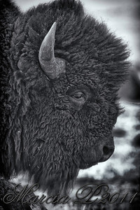 Adult Buffalo Bull Profile.