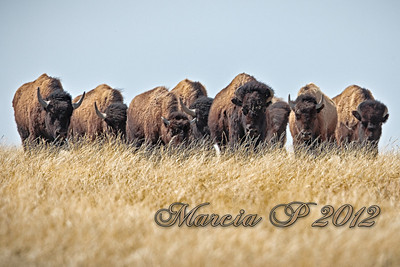 Unlike the first time i hiked into the area, the buffalo seemed curious as to the clicking of the shutter and came toward me. I kept a respectable distance and eventually withdrew down the side of the coulee. I looked back up and saw three cows looking down at me from where I'd been standing.