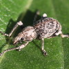 Silver Creosote Twig Weevil,  Ophryastes argentata