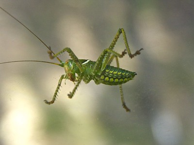 Grasshopper on the Window