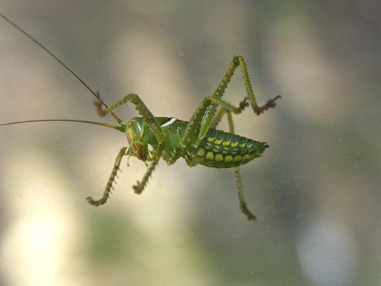 Grasshopper on the Window