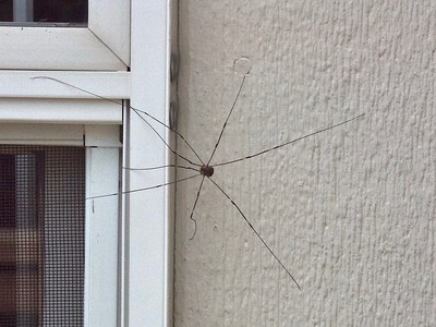 Just One Daddy Longlegs