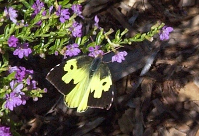 Butterfly on the Rosemary