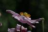 Japanese Anemone..(Anemone Hupehensis)