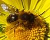 Andrena fulva. Mining or masonry bee