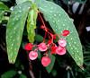 Begonia 'Comte de Miribe