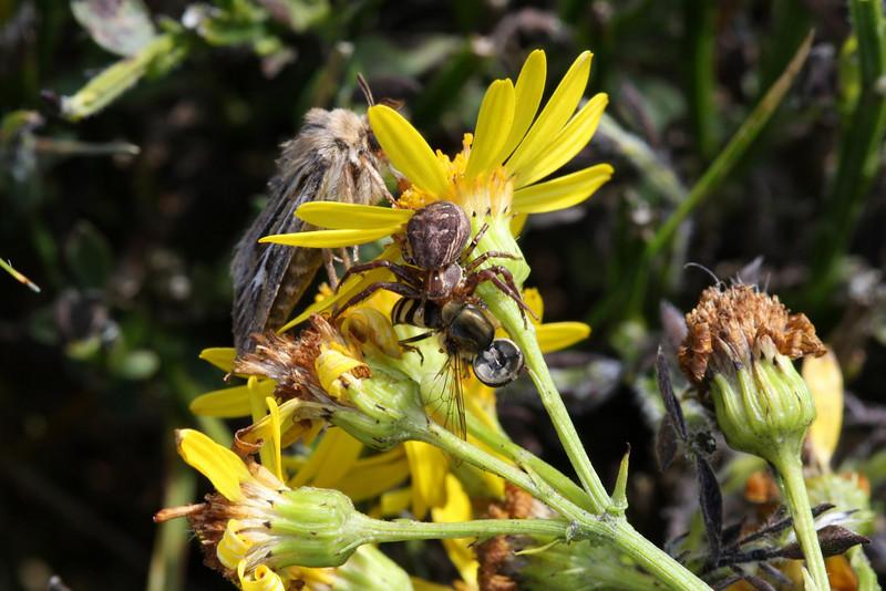 Xysticus sp. Crab spider.