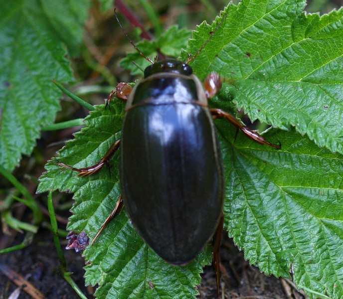 Greater Predacious Diving Beetle (Dytiscus sp.) taken Morton on Railway path when out with Michael and Emily