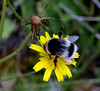 Bumble bee ( Bombus hortorum)