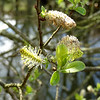 Salix caprea (Goat Willow, also known as the Pussy Willow or Great Sallow)