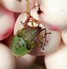 Green Shieldbug Palomena prasina