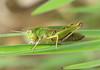 Common Green Grashopper