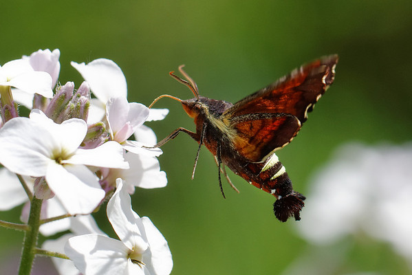 bugs and blooms 2014 - a closer look at our backyard flora and fauna. 6/8/2014<br /> Interesting to note that this year the only hummingbird moth I've seen is the Nessus Sphinx variety not the Clearwing seen last year. Still the coolest bug ever!