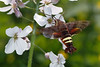 bugs and blooms 2014 - a closer look at our backyard flora and fauna. 6/7/2014<br /> Interesting to note that this year the only hummingbird moth I've seen is the Nessus Sphinx variety not the Clearwing seen last year. Still the coolest bug ever!