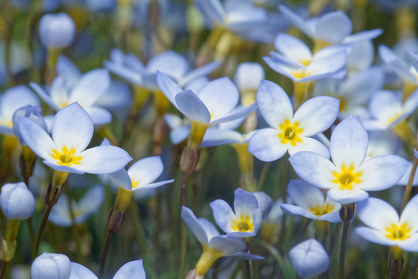 Bugs & Blooms 2016 - a closer look at our backyard flora and fauna.<br /> Bluets - 4/22/2016 - 598C7168dK