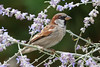 Bugs & Blooms 2016 - a closer look at our backyard flora and fauna.<br /> The sparrows have been feeding like mad on the Russian Sage.