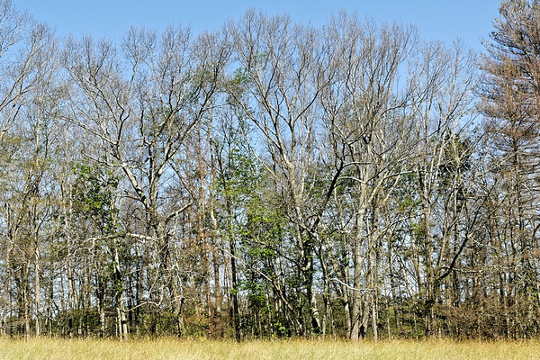 Bugs & Blooms 2017 - a closer look at our backyard flora and fauna.<br /> This is what Gypsy Moths have done in our area. It's now late June and much of the woods look like mid November. Oaks, maples and even some pines have been stripped bare - hopefully some, if not all, will recover...