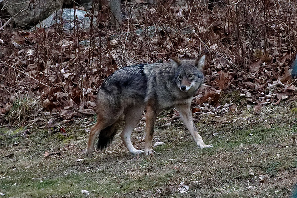 Bugs & Blooms 2017 - a closer look at our backyard flora and fauna.<br /> We also have a not-so-welcome visitor - a coywolf - which has been frequenting our backyards.