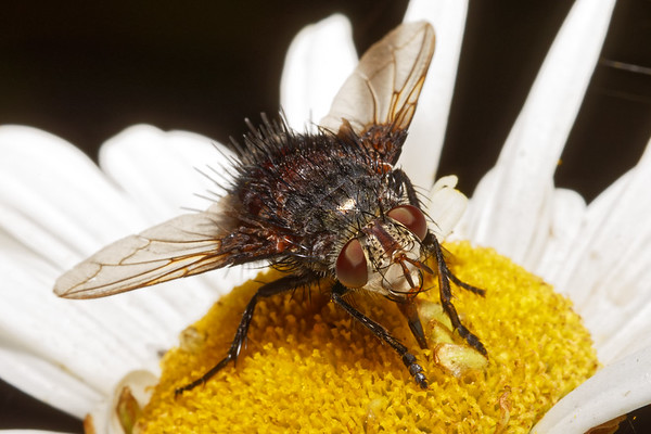 Bugs & Blooms 2017 - a closer look at our backyard flora and fauna.<br /> Giant hairy fly almost an inch long on Montauk Daisy.