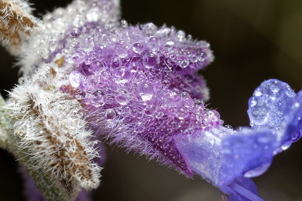 Morning dew on Russian Sage<br /> Bugs & Blooms 2017 - a closer look at our backyard flora and fauna.