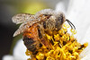 Bugs & Blooms 2017 - a closer look at our backyard flora and fauna.<br /> Another dewy bee...