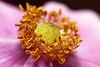 Bugs & Blooms 2017 - a closer look at our backyard flora and fauna.<br /> In the center of an anemone.